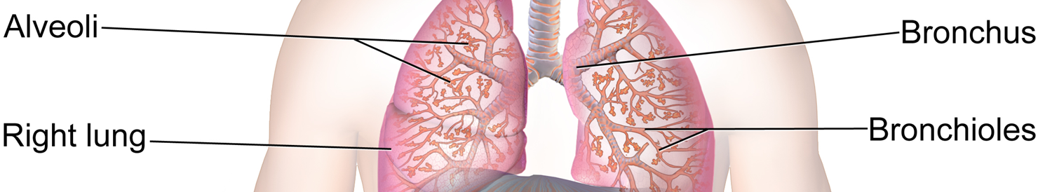 Picture of Lungs Bronchioles Bronchus Alveoli Right Lung