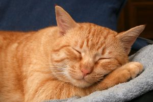 orang white strips catty cat sleeping on a blanket peacefully white whiskers