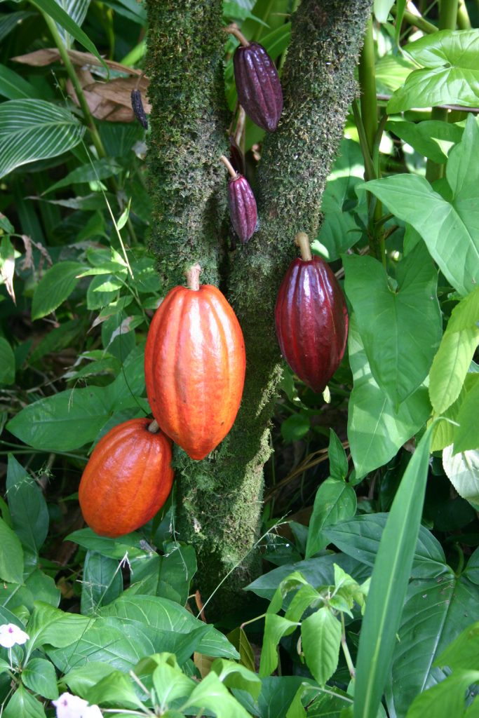theobromine cacao plant