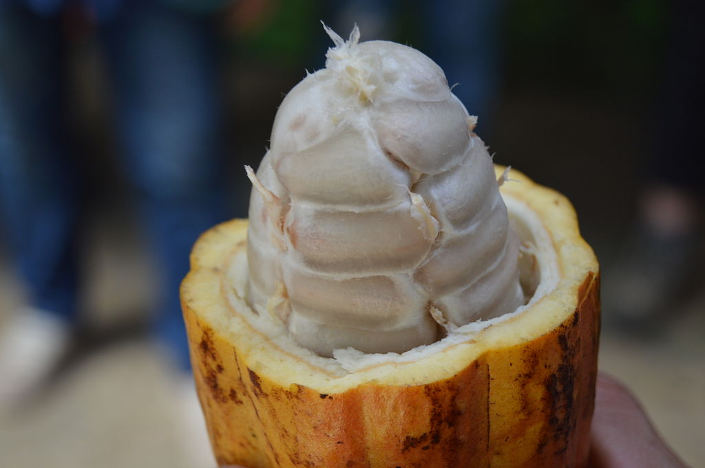 close up cocoa pod opened with clean white seeds corn cob