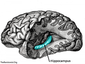 brain cross section showing the hippocampus in the brain in blue color to grayscale background