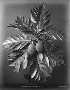 delicious looking bread fruit that is greyed out greyscale by atrocarpus