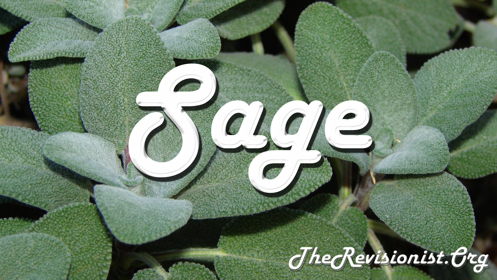 Sage (Salvia Officinalis) - The History, Properties, & Scent Profile