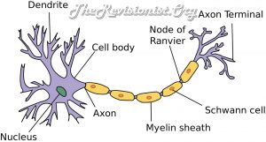 cell body of a neuron, myelin sheath, node of ranvier, axon & dendrite