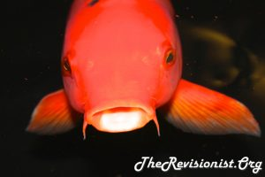 brick red orange catfish with really short whiskers facing you head on, looks slight depressed in the dark waters