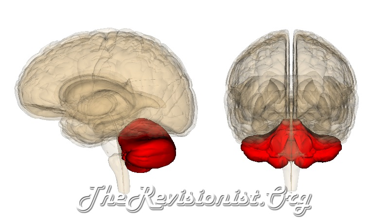 cerebellum front side view 3D models