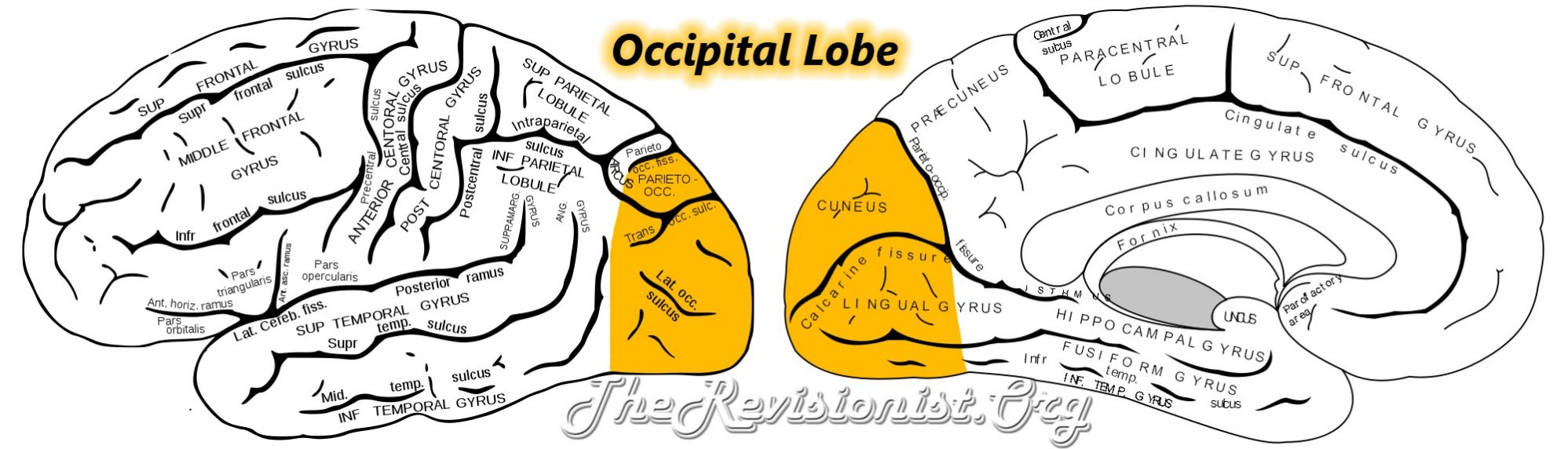 occipital lobe external internal anatomy