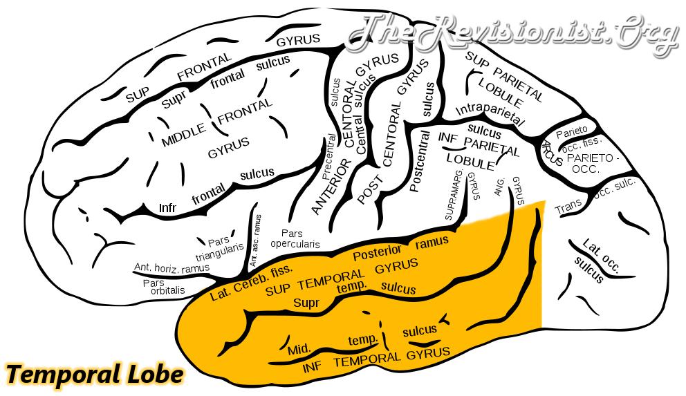 Temporal Lobe Region Highlighted