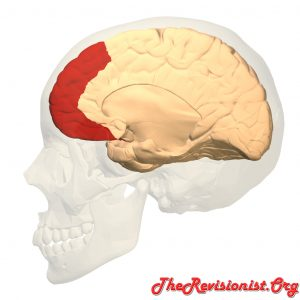 cerebrum cross section hemisphere showing prefrontal cortex region