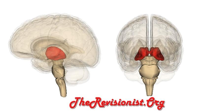 position of thalamus in brain