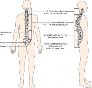 spinal column anatomy