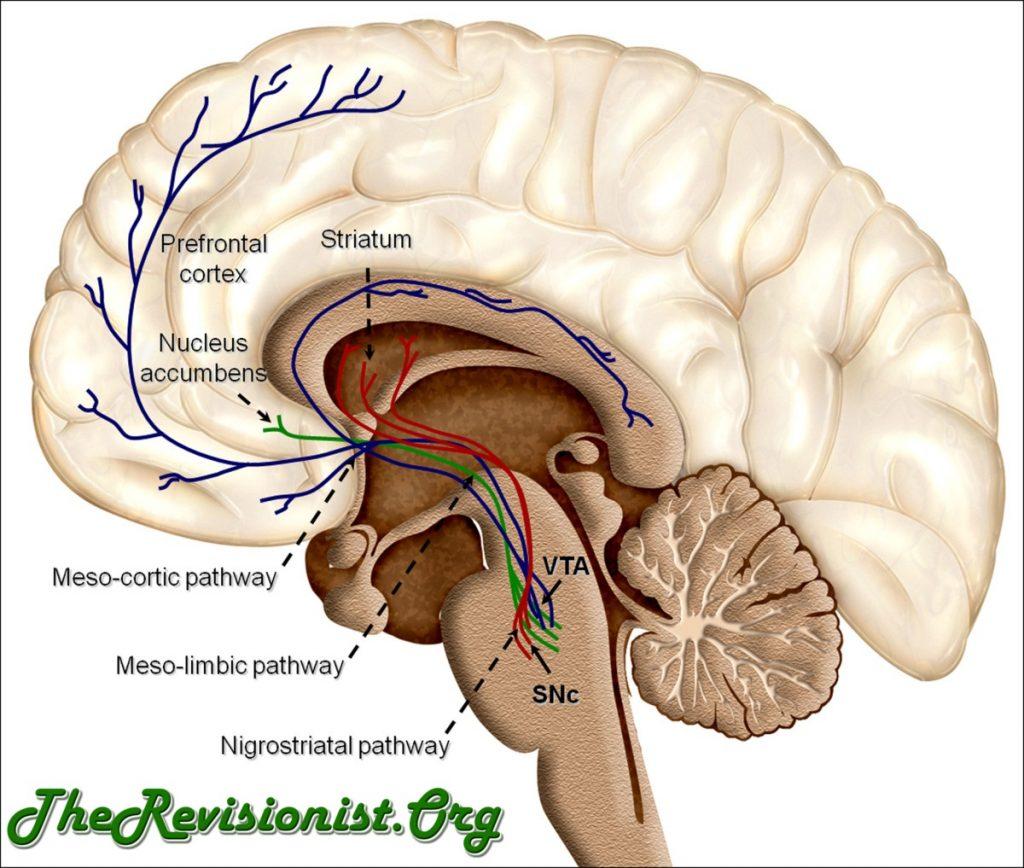 dopamine reward pathways in brain