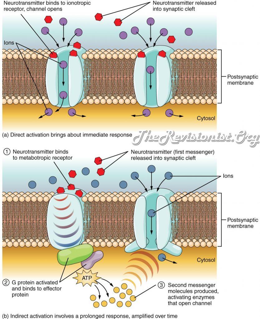 ionic metabotropic receptors diagram
