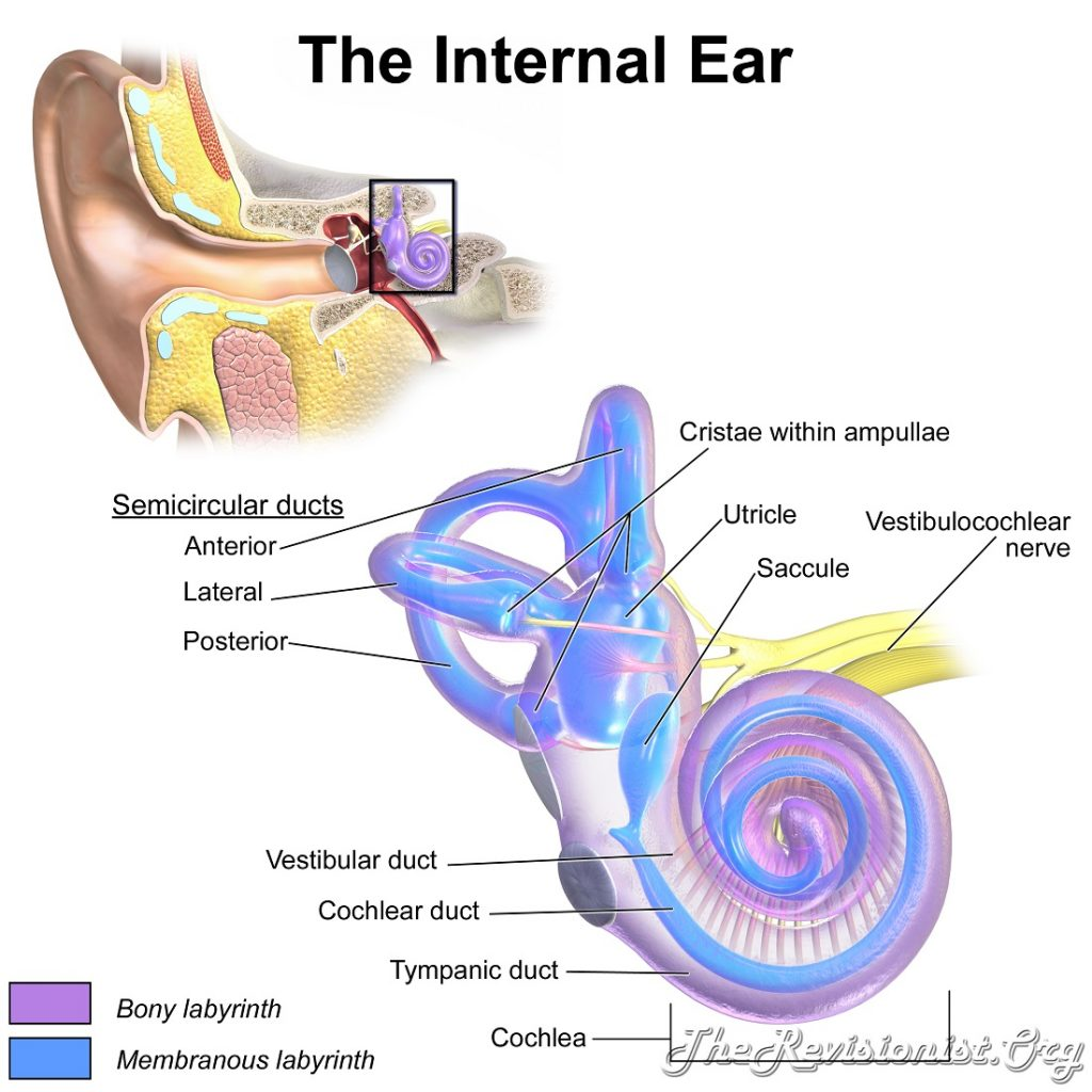 structures inside the internal ear canal