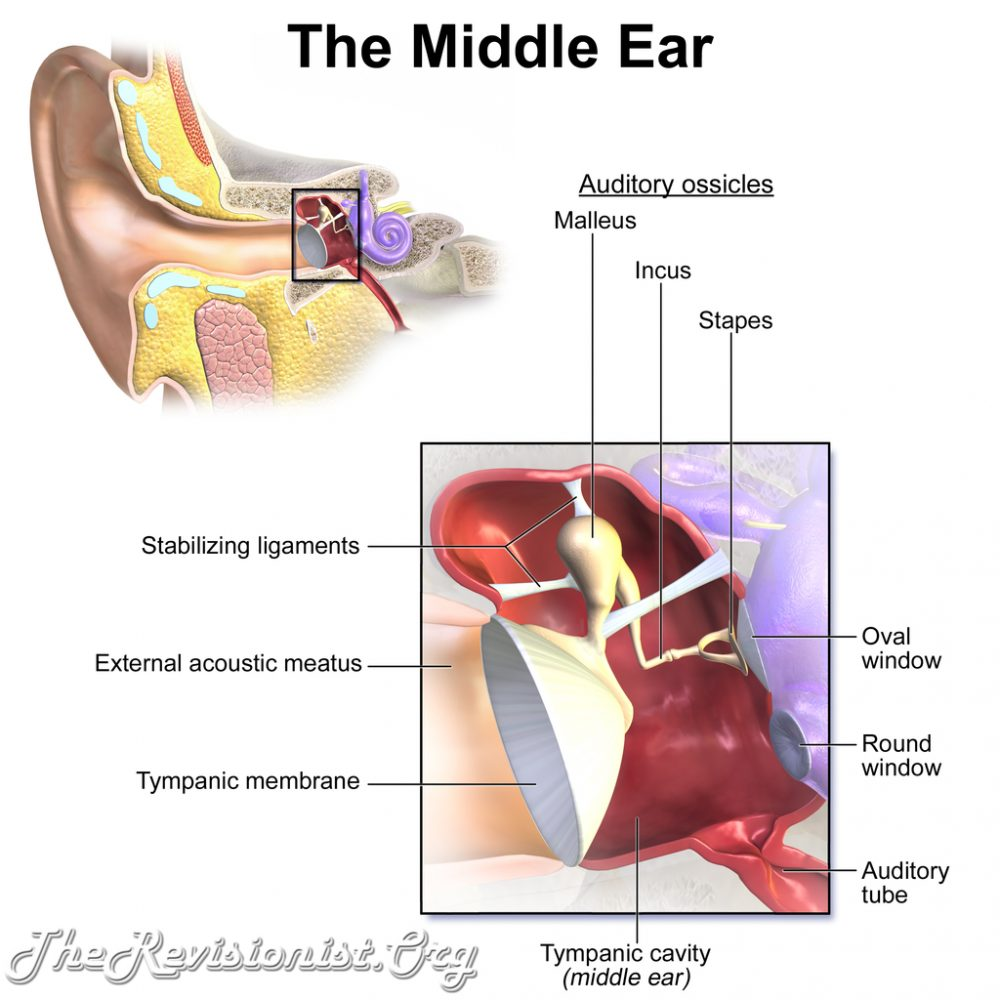 structures inside middle ear