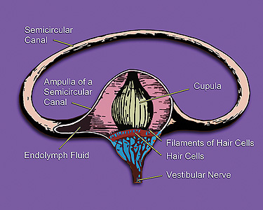 ampulla cross section with semicircular duct