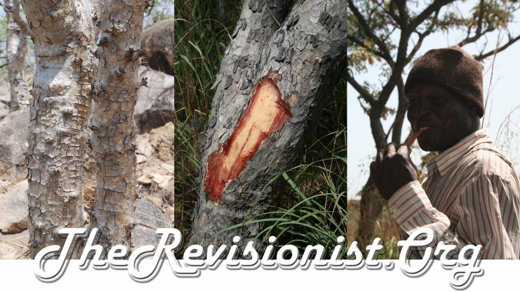 Boswellia Dalzielii bark, exposed trunk, and man chewing bark