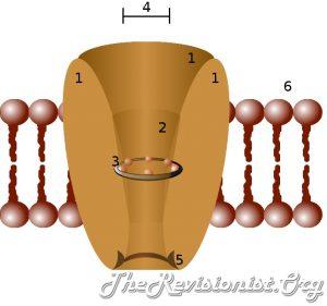 Ion channel membrane protein diagram