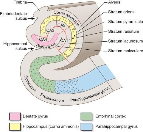 hippocampus proper anatomy diagram map