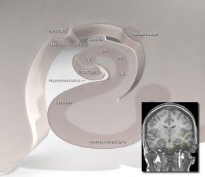 subiculum hippocampus anatomy diagram